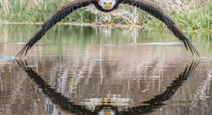 picture of a bald eagle by steve biro
