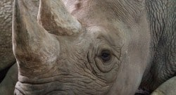 eastern black rhinos return to rwanda