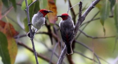 Myzomela prawiradilagae or Alor myzomela (red-headed honeyeater) ImagePhilippe Verbelen