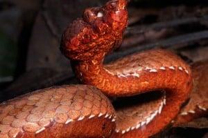 Trimeresurus arunachalensis, or Arunachal pit viper Image by Rohan Pandit.
