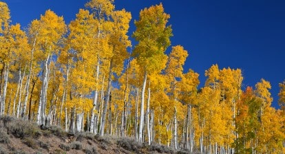 Pando in the Fall by J Zapell Public Domain Wikepedia