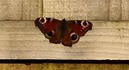 Peacock Butterfly by 360onhistory.com
