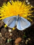 Common Blue Butterfly by 360 on History Podcast
